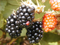 Health Benifits of Blackberries